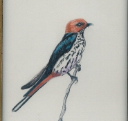 113 Lesser Striped Swallow by Mary Lynn Kydd - Pencil Crayon