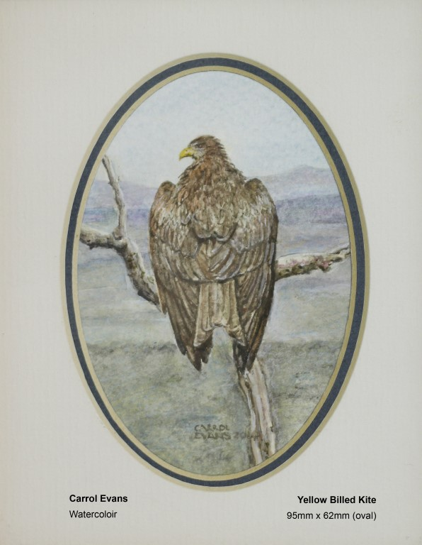 evans-carrol-yellow-billed-kite