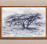 12 Umbrella Thorn by Eileen Bass in Pencil