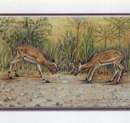 47 Fighting Impala by Debra Longfield in Coloured Pencil