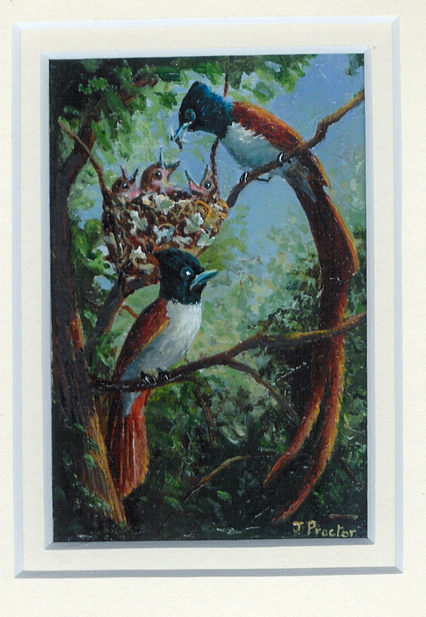 111 Paradise Flycatchers by Judy Proctor - Acrylic