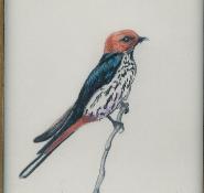 113 Lesser Striped Swallow by Mary Lynn Kydd - Pencil Crayon