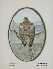 evans-carrol-yellow-billed-kite