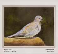 carew-daphne-laughing-dove