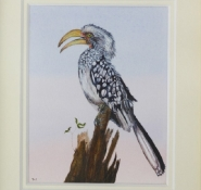 carew-daphne-yellow-billed-hornbill