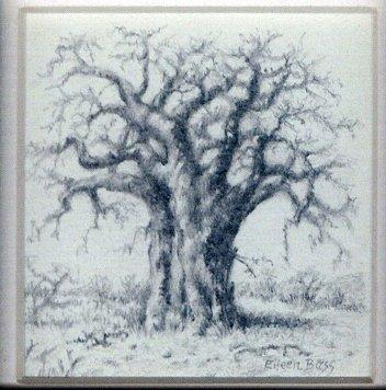 11 Baobab by Eileen Bass in Pencil