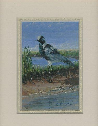 70 Blacksmith Plover by Judy Proctor in Acrylic